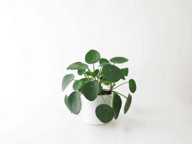 「コショウ科のペペロミア Peperomia sp. に似た」という名前の ピレア ペペロミオイデス。まんまるの葉っぱがかわいい。中国原産で「チャイニーズマネープラント」と呼ばれることもあります。葉っぱは多肉質とは言え薄く、サイズも30cmほどのテーブルサイズで、観葉植物として愛好されています。亜熱帯性で高温多湿が好きで水や湿気を好むのも多肉らしからぬ。冬以外はお水たっぷりで。  ちなみに「ペペロミア」という名前も「コショウ(Pepper)に似た」という意味なのでペペロミオイデスって「コショウに似たものに似た」ということ……。