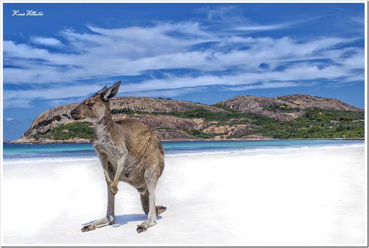 Lucky Bay, Esperance Kangaroo