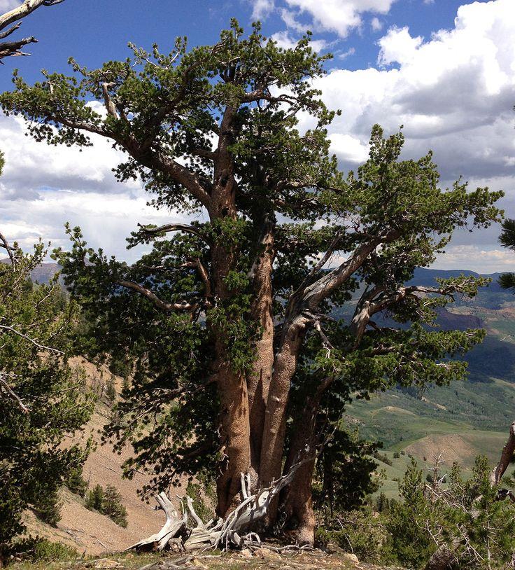 File:2013-07-12 13 42 54 Gnarled Whitebark Pine in the Copper Mountains of Nevada.jpg