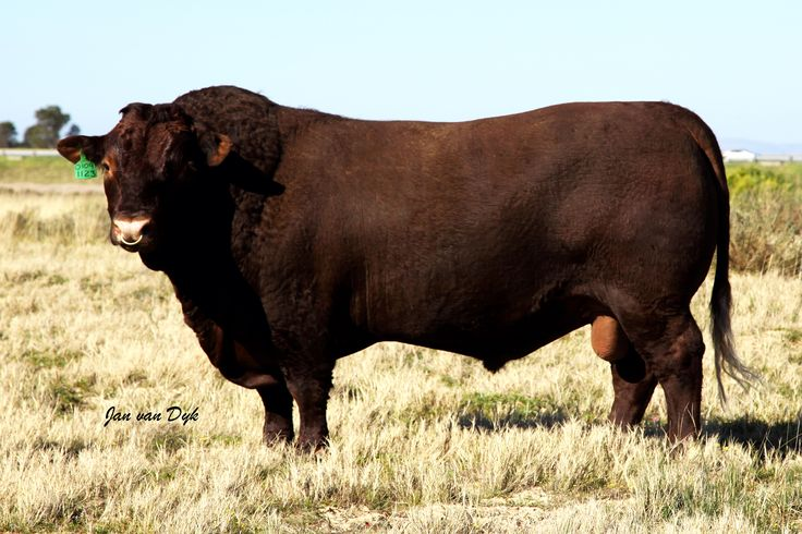 Sussex National Sale 18 August 11am Bloem Show Grounds Lot 14: Bull AJS1123 by…