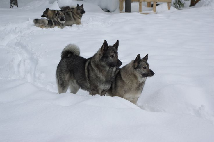 KAMIA KENNELS - amazing Norwegian Elkhound breeders! Family pups with a strong recall.