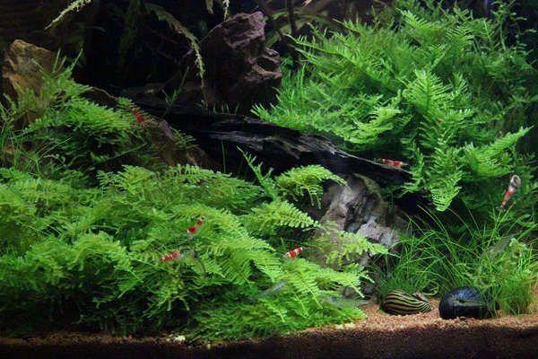 Vesicularia montagnei Christmas-Moos - InVitro Laborpflanze