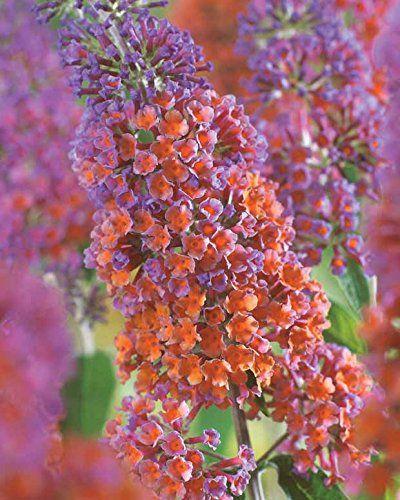 Arbre à papillons 'Flower Power' Willemse France https://www.amazon.fr/dp/B01ETSYR5W/ref=cm_sw_r_pi_dp_x_-EFizbTBYS7BX