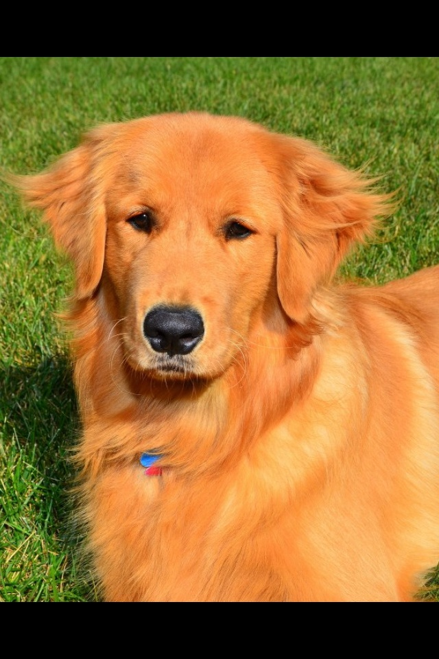 Beautiful Golden Retriever.  Don't expect them to be watch dogs.  They are wonderful companions.