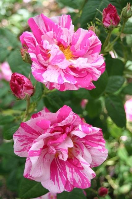~Rosa 'Mundi', Gallica rose.