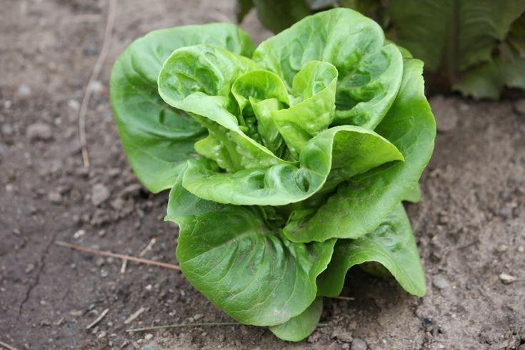 Little Gem Lettuce - Organic