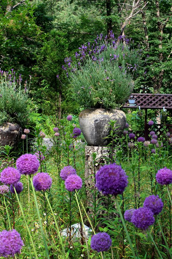 Lavender pots & Allium flowers  Container garden / Farm Herbnara / Korea