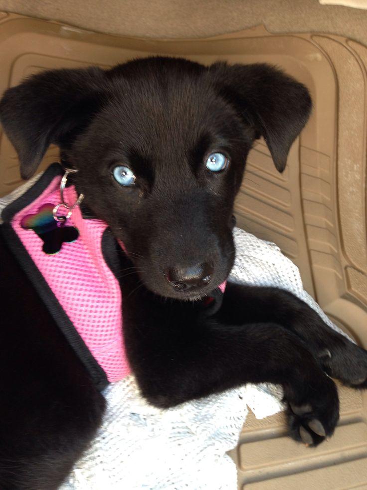 My Husky/lab mix with blue eyes :) | Animals | Black Lab ...