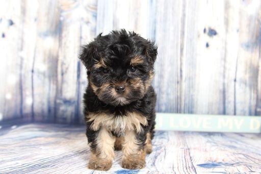 Yorkie Poo Puppy For Sale In Naples Fl Adn 59212 On Puppyfinder Com Gender Female Age 10 Weeks Old Yorkie Poo Yorkie Poo Puppies Puppies For Sale