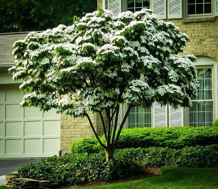 Kousa Dogwood This White Flowering Blooms Later Than Other Varieties Giving You Another