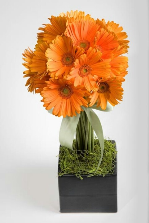 Orange Gerber daisy topiary with moss