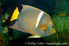King Angelfish Photo, Stock Photograph of a King Angelfish, Holacanthus passer, #12889, Phillip Colla Natural History Photography