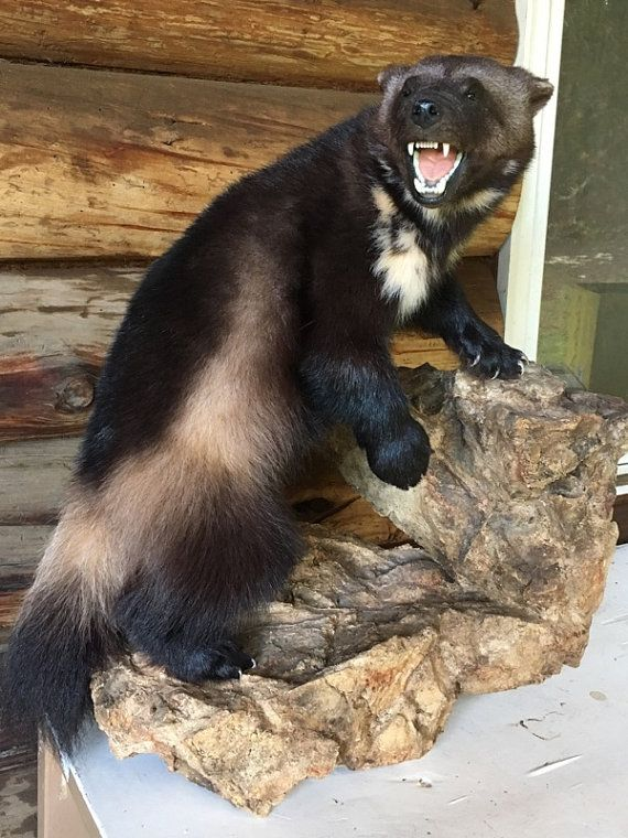REAL Wolverine Mount Taxidermy Full Body Ultra by WildCountryFurs
