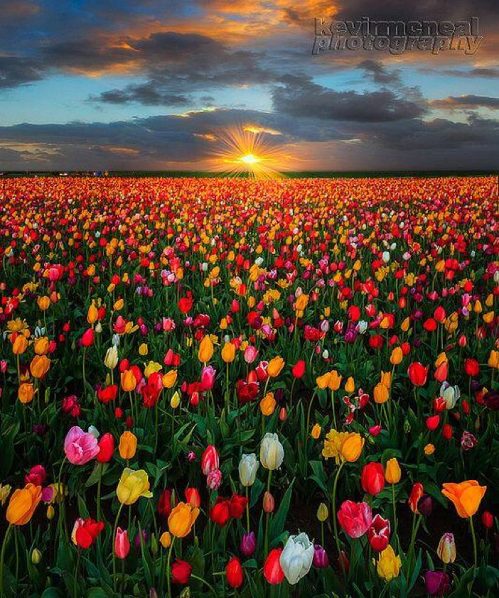 Sunrise Sunburst Over Woodburn Tulip fields, Oregon
