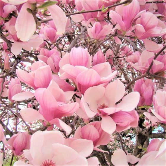11 Best Smelling Plants For Your Yard Most Fragrant Plants In 2020 With Images Saucer Magnolia Tree Magnolia Tree Landscaping Magnolia Trees For Sale
