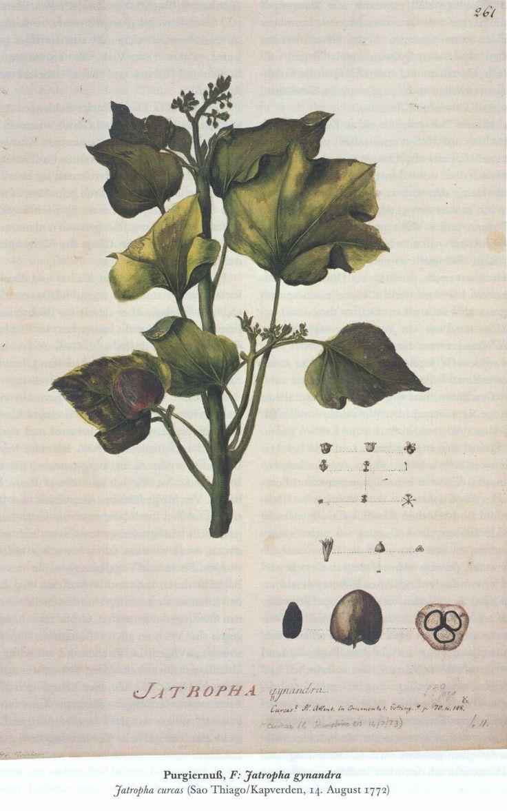 Jatropha-Zeichnung-von-Georg-Forster-1772
