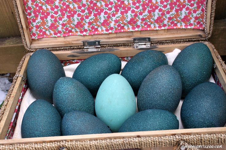 http://www.northgeorgiazoogiftshop.com Emu Egg Shells! available for sale at the zoo!
