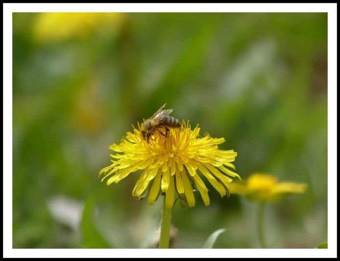 Cueillette au pied des voies: Pissenlit – Taraxacum officinale