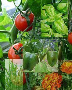 Companion plants for tomatoes include Basil, Oregano, Parsley, Carrots, Marigold, Geraniums, Petunias, Borage, any type of Onion or Chives.