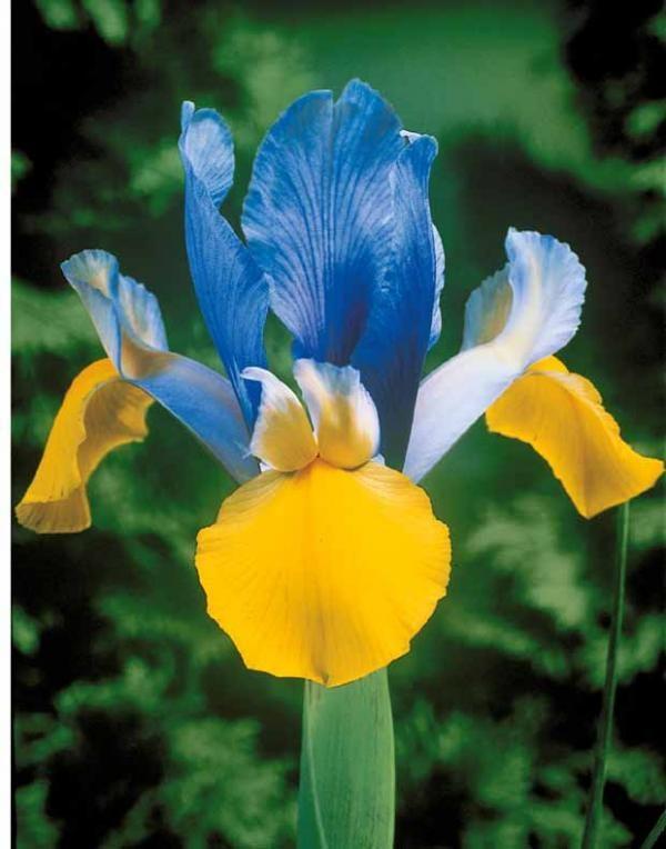 Collection de 100 iris de Hollande (Tiger Eye, Rosario, Bronze Beauty, Romano)