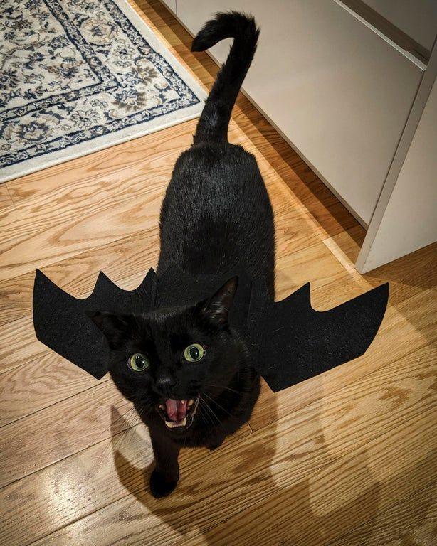 Cat's 'Toothless' Halloween Costume in 2020 Animals, Cat