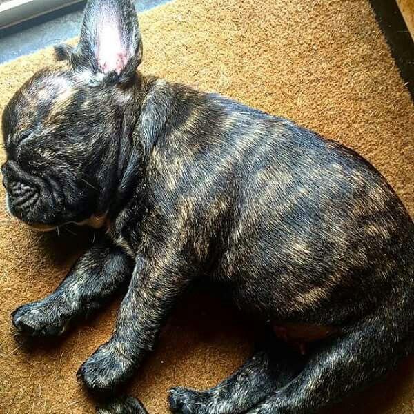 Superbe boulette... ...French Bulldog Puppy