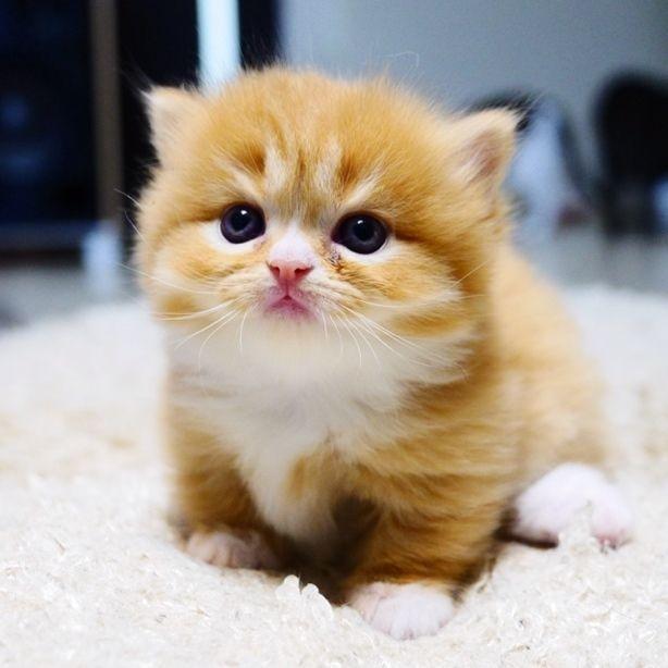 Best 25+ Munchkin kitten ideas on Pinterest | Munchkin cat ...