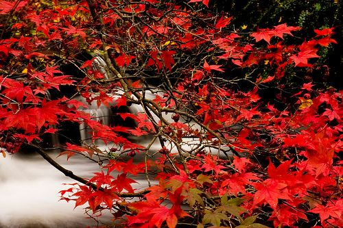 Acer Japonica on Water, Stobo, Scotland
