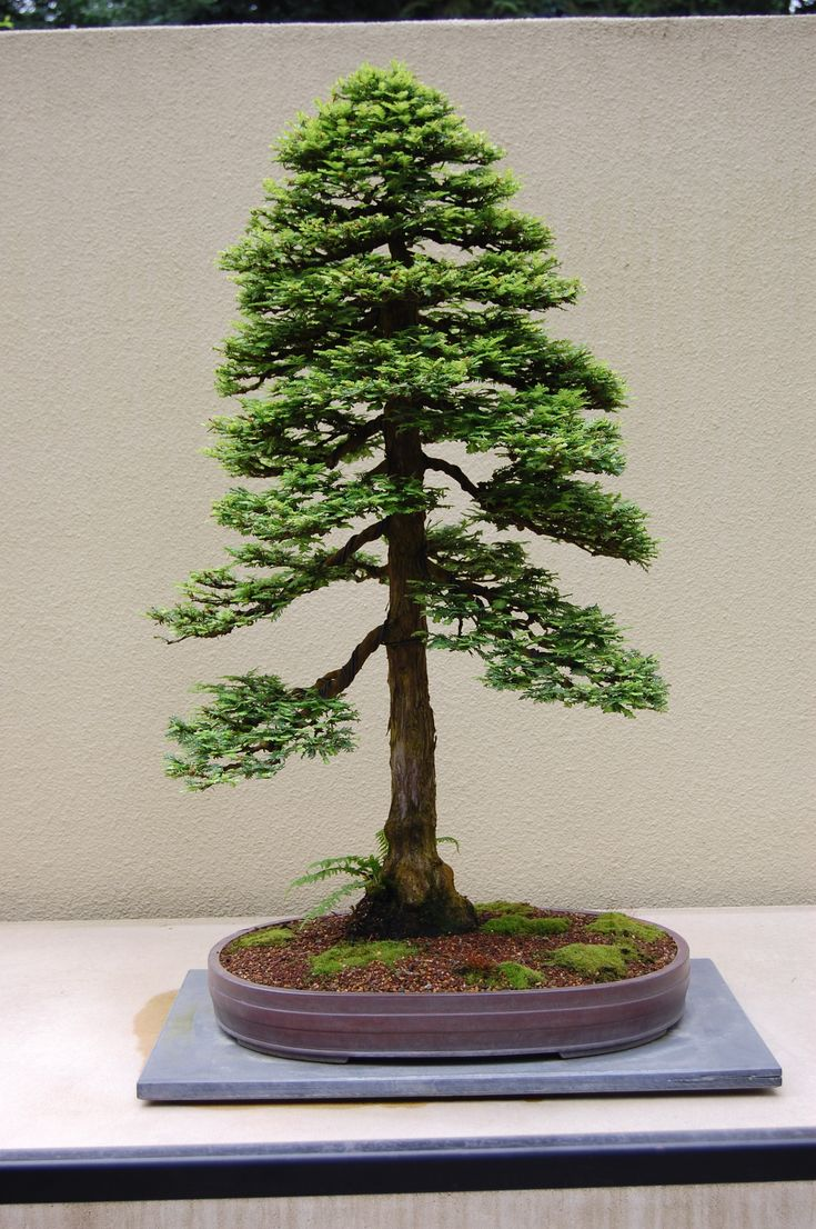 Best In The Northwest' at The Pacific Rim Bonsai Collection ...