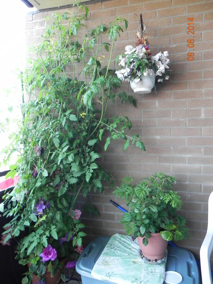 *** 6 feet tall cherry-tomato plant
