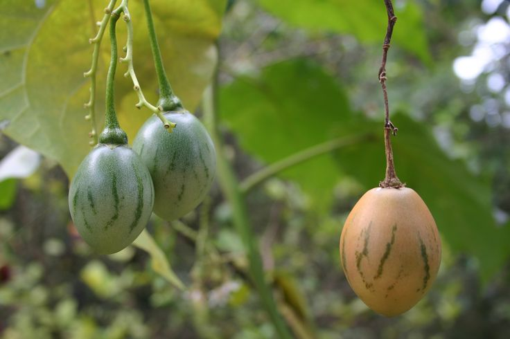 If you're wanting to grow something a bit more exotic in the landscape, how about growing a tree tomato tamarillo. What are tree tomatoes? Read here to find out, including how to grow a tamarillo tomato tree.