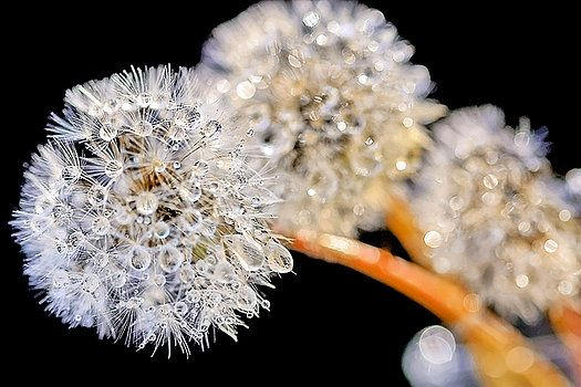 Dandelion Dew, took this photo of some Dandelion flowers in the early morning in Holland. The dew droplets were dazzling like diamonds