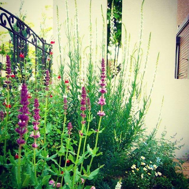 #ラベンダーセージ が香る、#お庭 で過ごす心地よいひととき。#ザシーズン #ガーデン #ガーデンデザイン #ハーブ #緑のある暮らし #花  #garden #gardendesign #photo #love #picture #love #theseason #ロートアイアン #green #flowers #herb #herbgarden #庭 #植物