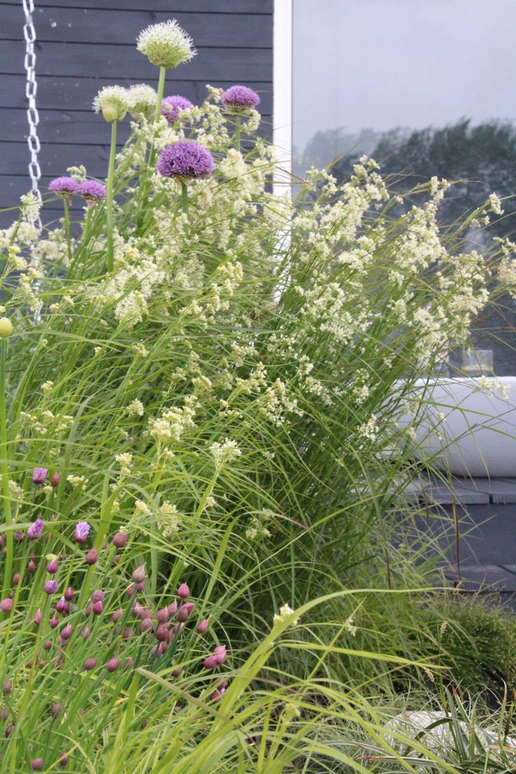 Beautiful composition of allium and luzula nivea , with common chive in foreground (RHS Malvern co-designed by Sue Crawford  )