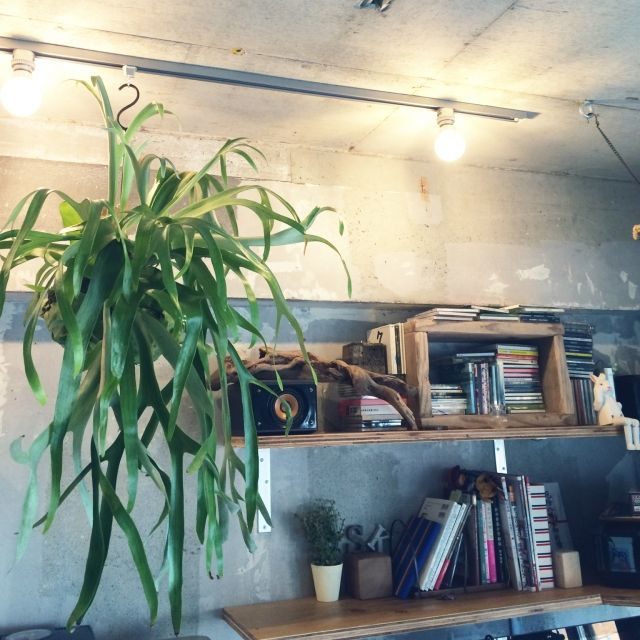 marshさんの、ハンギング,流木,観葉植物,裸電球,雑貨,WOODPRO,足場板古材,ディスプレイ,コウモリラン,男前,コンクリート打ちっ放し,Lounge,のお部屋写真