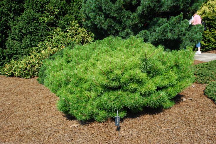Pinus densiflora Jane Kluis - Сосна густоцветковая Jane Kluis . Размер: 50 - 70 cm в 10 лет.Год: 1984 Страна происхождения: США Описание сорта: Pinus densiflora x Pinus thunbergii. Шарообразная форма с плоской вершиной. Хвоя вариегатная. В полуденную жару нужно притенение - может подгореть. Описание вида Pinus densiflora:Очень светолюбива. Требует хорошего дренажа. Не переносит сырых почв. Пригодна для посадок на открытых местах, на песчаных дюнах и скалах.