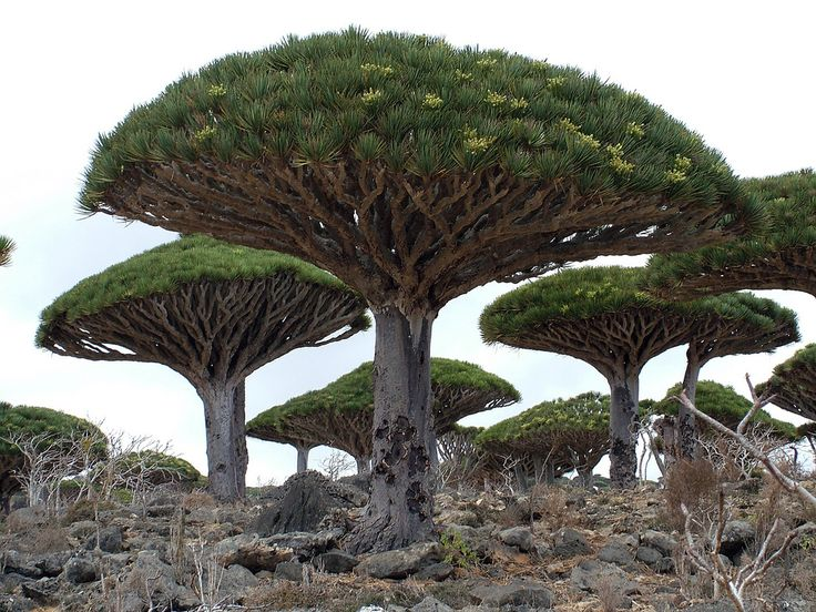 The rare Dragon's Blood Tree (Dracaena cinnabari) is also known as the Socotra Dragon Tree in Yemen. It is arguably the most famous plant of the Yemeni island of Socotra.
