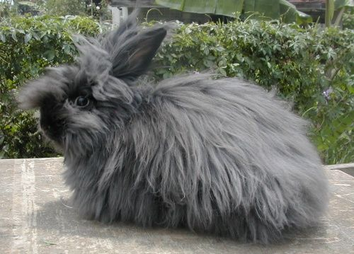 While there are several breeds of Angora rabbits, the American Rabbit Breeders Association only recognizes four of them: English, French, Satin and Giant. Description from ilikeitfrantic.net. I searched for this on bing.com/images