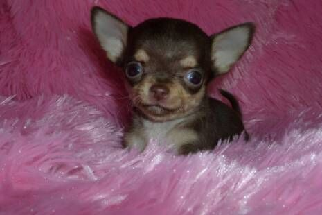 Applehead Chihuahua Puppies                                                                                                                                                                                 More