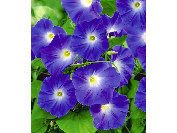 Trichterwinde 'Blue Hardy', 1 Pflanze Ipomoea indica 1