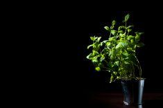 Damian Gretka. Microstock Photography.  bush mint stock photo