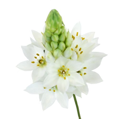 Star of Bethlehem White Flower