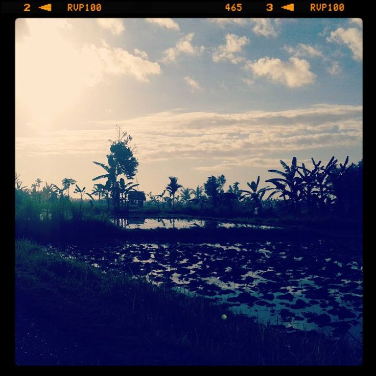 Balinese Rice Field