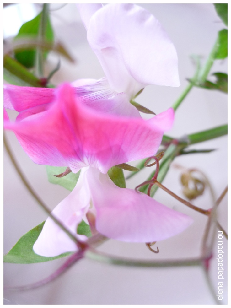 Sweet pea (Lathyrus odoratus) is a flowering plant in the genus Lathyrus in the family Fabaceae (legumes), native to the eastern Mediterranean region from Sicily east to Crete.