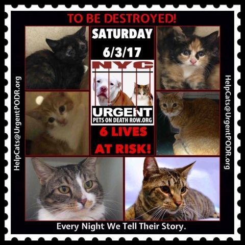 """TO BE DESTROYED 6/03/17 - - Info  Please share View tonight's list here: http://nyccats.urgentpodr.org/tbd-cats-page/. The shelter closes at 8pm. Go to the ACC website( http:/www.nycacc.org/PublicAtRisk.htm) ASAP to adopt a PUBLIC LIST cat (noted with a """"P"""" on their profile) and/or … CLICK HERE FOR ADDITIONAL…Please…Please...-  Click for info & Current Status: http://nyccats.urgentpodr.org/to-be-destroyed-32017/"""