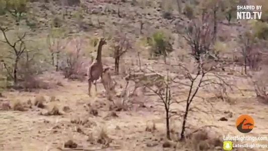 Giraffe mom tries to save her baby from lions #news #alternativenews