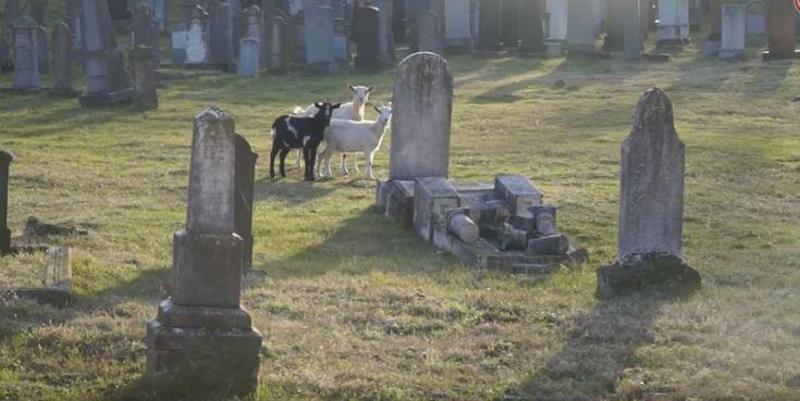Szégyenletes: Kecskék legelnek a tiszafüredi izraelita temetőben
