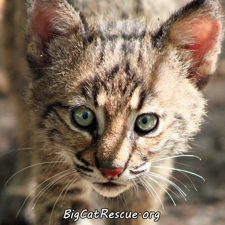 Big Cat Rescue Tampa Wish There Was One Of These Near My: Captiva Bobcat - BigCatRescue.org/Join