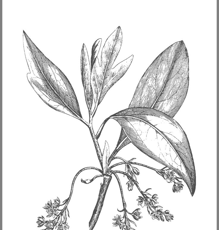 Sassafras albidum medicinal uses
