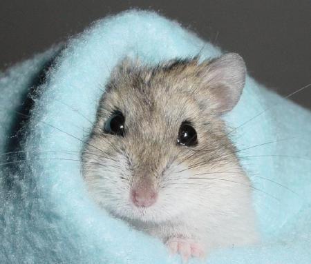 hamsters | hamster enano jugando al escondite